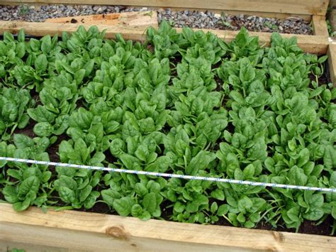 Spinach Garden by How To Grow Spinach When To Harvest And How To Store It