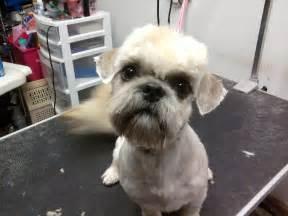 shih tzu fur cuts poodle shih tzu haircuts