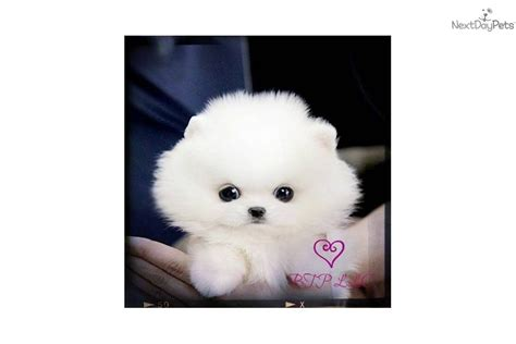baby teacup pomeranian puppies baby pomeranian puppies teacup