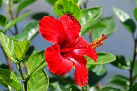 manfaat bunga sepatu  pengobatan tradisional