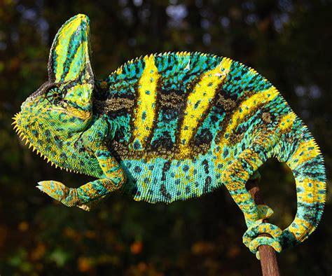 veiled chameleon colors premium high orange baby veiled chameleons for sale