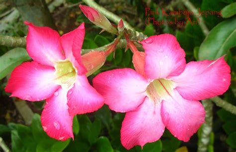 Biji Bunga Kamboja Jepang floristari bunga kamboja jepang pink 3