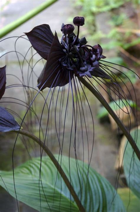 Black Orchid by Black Orchid Flowers Plant Photos