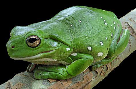 imagenes de ranitas verdes ranas exoticas taringa