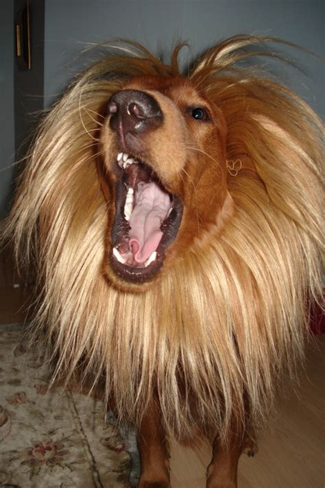 golden retriever costume rawr what an ideal costume for this golden retriever ruffington post