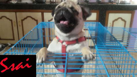 pug aggression pug aggressive when kept in cage