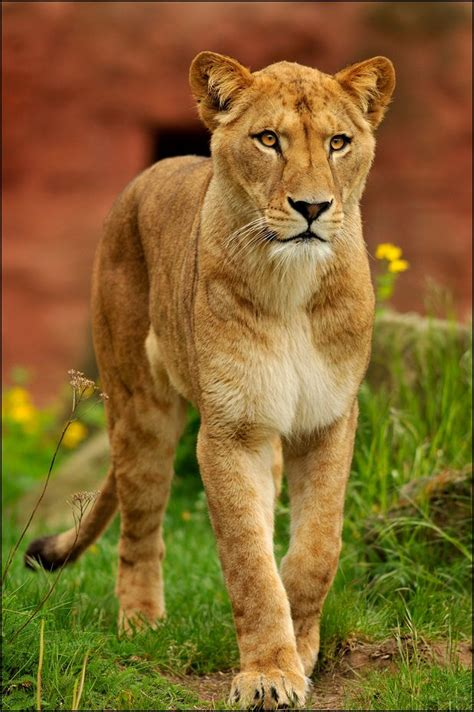 when a lioness growls a s pride books 17 best ideas about lioness images on roaring
