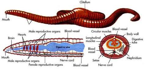 earthworm inside parts 7salemanimalkingdom worms