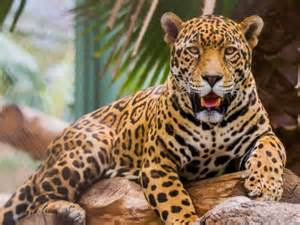 Where Can You Find Jaguars Image Gallery El Jaguar