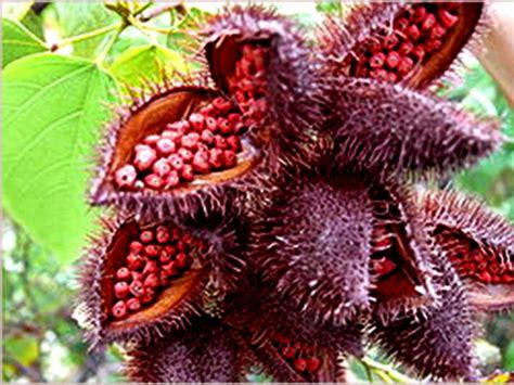 beware annatto the food color masquerading as the