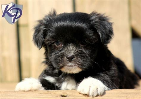 shorkie puppies for sale in pa 41 best images about shorkie puppies on adoption future baby and yorkie