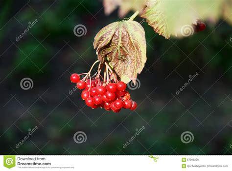 Kue Chiffon Mister No Kumis Berries twig viburnum stock photo image 57998309