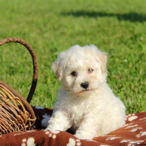 bichon frise puppies  sale greenfield puppies