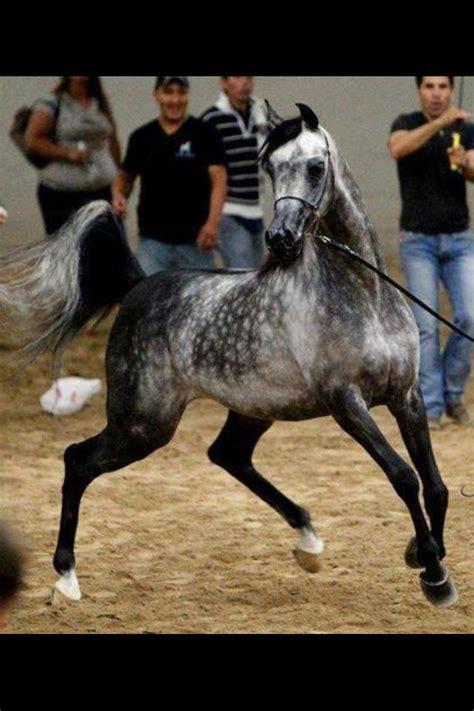 Ramona Grey Palomino 37 best most beautiful arabian horses images on horses arabian horses and arabian