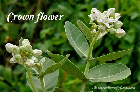 Full Sun Container Garden Ideas - calotropis gigantea large milkweed leaves for caterpillars