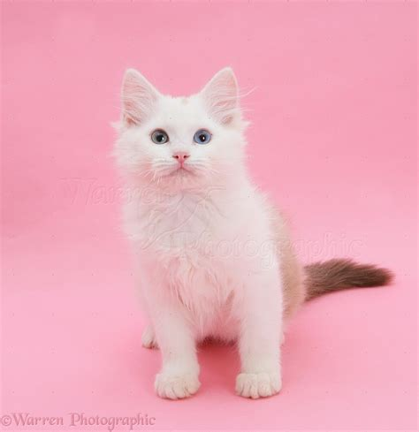 kitten background birman x ragdoll kitten on pink background photo wp22148