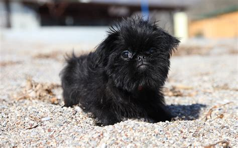 brussels griffon puppies for sale brussels griffon puppies breed information puppies for sale