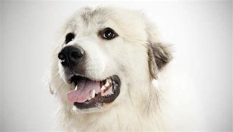 Great Pyrenees Shedding Information by 100 Great Pyrenees Shedding Information Emmy Lou