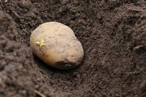 wann werden kartoffeln gesetzt kartoffeln ernten wann ist die beste zeit zur