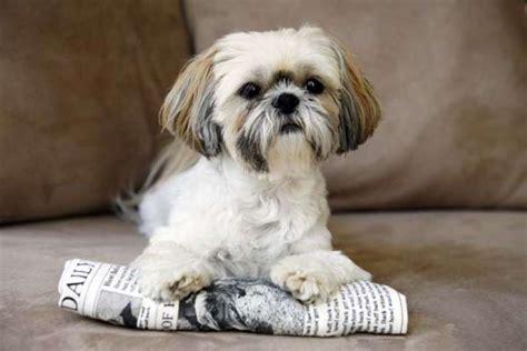 shih tzu house tips shih tzuthe shih tzu makes a great companion and house pet with a photo 7263591