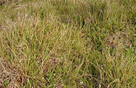 couch grass runners fingal headland maritime themeda grassland restoration