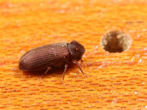 couch beetles anobium punctatum furniture beetle or woodworm