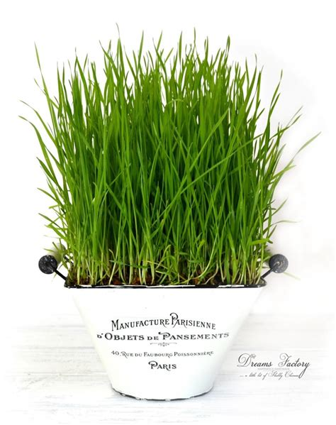 easy grow wheatgrass how to grow wheatgrass for juicing decorating