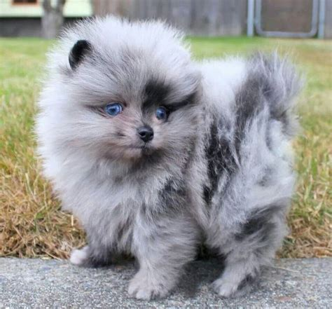 blue pomeranian puppies blue merle pomeranian i pomeranians puppys so and look at
