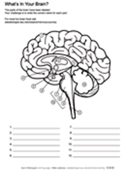 brain coloring page pdf what s in your brain worksheet asu ask a biologist
