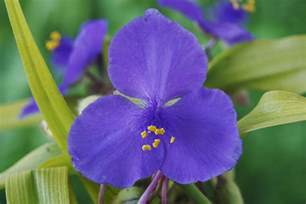 Home Decor Interior Design Games how to grow spiderwort a beautiful spring bloomer