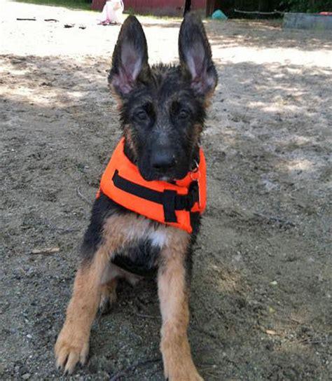 too cute german shepherd puppies german shepherd puppies on too cute dogs in our life