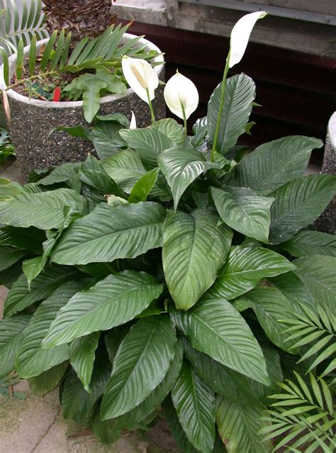 green house plant identification level 1 plant identification common houseplants memrise