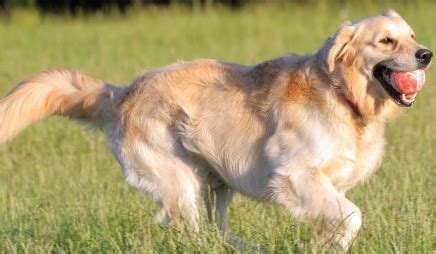 golden retriever behaviors golden retriever gt 10 000 free articles pictures