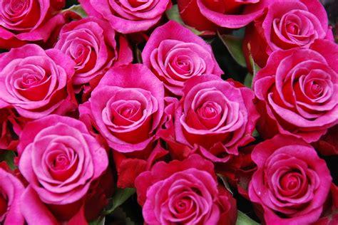 imagenes de flores rosas foto gratis flores rosas bouquet rosa imagen gratis