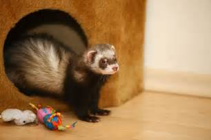 keeping ferrets as pets pets4homes