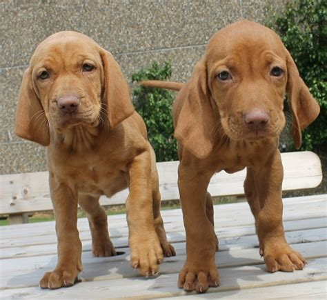 viszla puppies puppy list pictures
