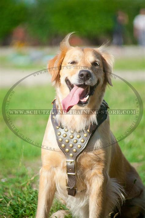 best harness for golden retriever designer leather harness with studded chest plate for schutzhund