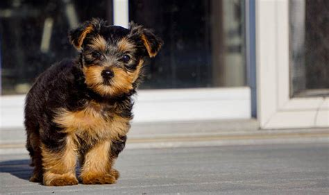 yorkie hind leg problems pered pets my terrier seems reluctant to put weight on one leg nature news
