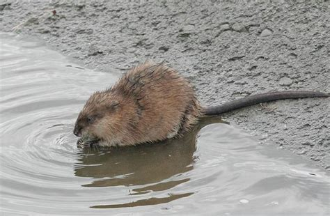 Sho Muskrat Review a muskrat wildlife in photography on the net