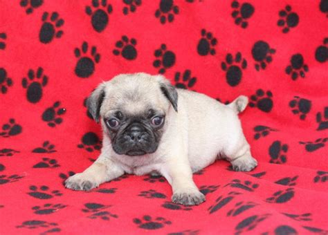 pugs for sale in nm adorable pug puppies puppyindex