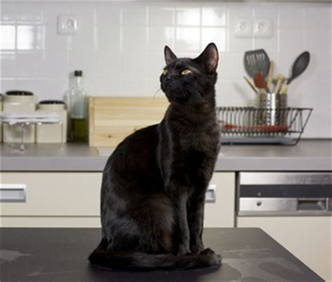 how to stop cats jumping on kitchen bench how to keep your cat off the counters