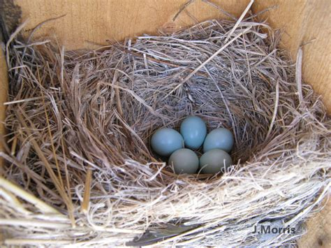 western bluebird nesting behavior courtship nest