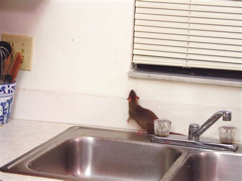 Mouse In Pantry by How To Get Rid Of Rats In Kitchens