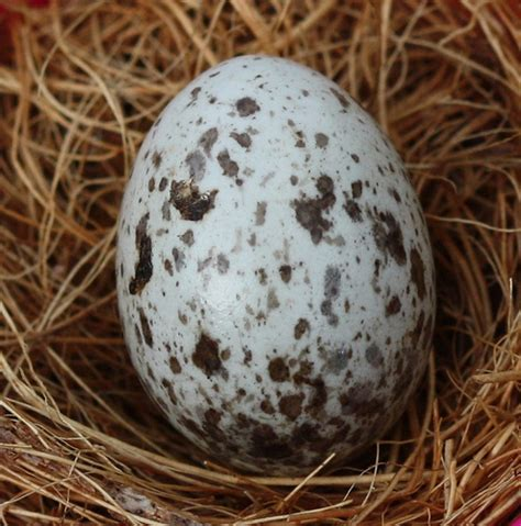 house sparrow eggs flickr photo sharing