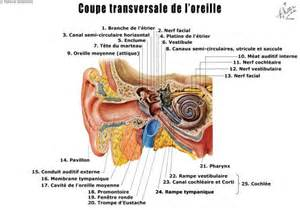 cils affaire organe cellule structure sant 233
