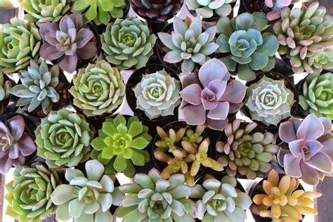 """2.5"""" Rosette Succulents   Succulents for Sale Bulk Succulent Wedding Favors"""