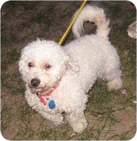 yorkie rescue kansas city adopt a bichon frise find dogs for adoption breeds picture