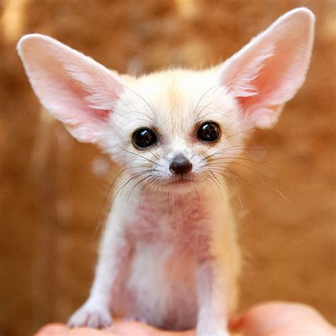 baby puppys cutest baby puppies fennec fox adorable dogs photo 13663628 fanpop