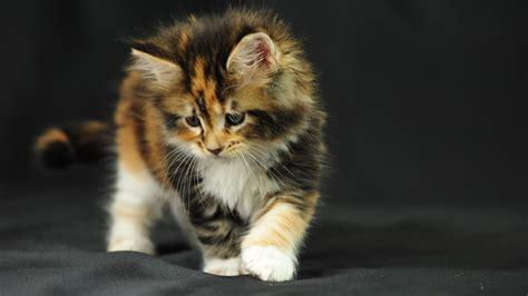 wallpaper chat hd fonds d ecran chat domestique chatons animaux t 233 l 233 charger