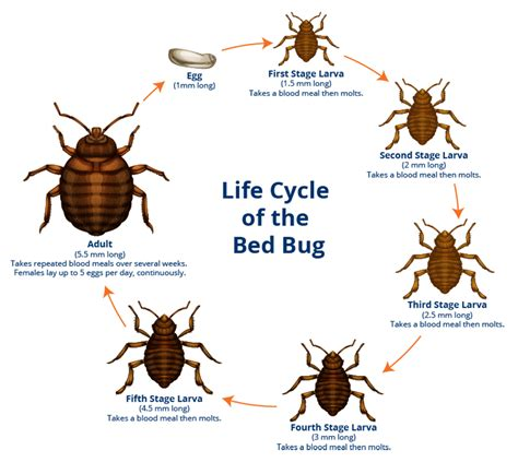 lifespan of bed bugs maintenance pest control residence life texas a m